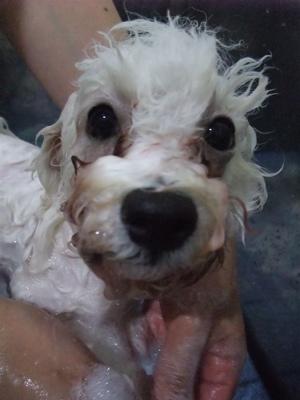 ビションフリーゼブリーダーこいぬ赤ちゃん子犬東京フントヒュッテhundehutte文京区トリミングサロンビションカットアフロカット良血統ビション毛量の多いビション8.jpg