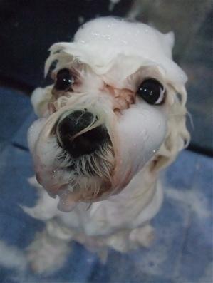 ビションフリーゼブリーダーこいぬ赤ちゃん子犬東京フントヒュッテhundehutte文京区トリミングサロンビションカットアフロカット良血統ビション毛量の多いビション12.jpg