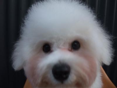 ビションフリーゼブリーダーこいぬ赤ちゃん子犬東京フントヒュッテhundehutte文京区トリミングサロンビションカットアフロカット良血統ビション毛量の多いビション35.jpg