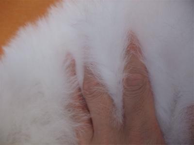 ビションフリーゼブリーダーこいぬ赤ちゃん子犬東京フントヒュッテhundehutte文京区トリミングサロンビションカットアフロカット良血統ビション毛量の多いビション39.jpg
