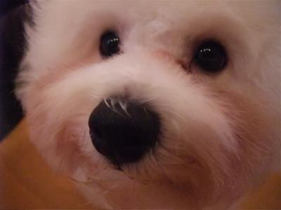 ビションフリーゼブリーダー子犬東京フントヒュッテ文京区トリミングサロンビションカットアフロカットデンタルケア犬歯磨き良血統ビション毛量の多いビション3.jpg