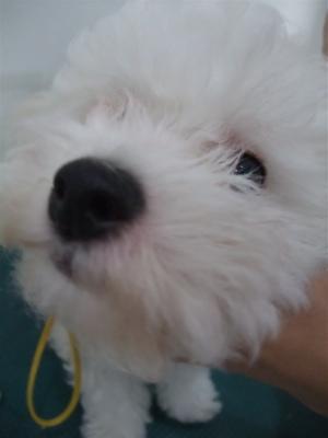 ビションフリーゼブリーダーこいぬのお迎え子犬東京フントヒュッテhundehutte文京区トリミングサロンビションカットアフロカット良血統ビション毛量の多いビション2.jpg