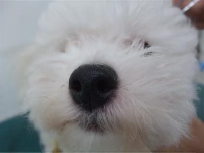 ビションフリーゼブリーダーこいぬのお迎え子犬東京フントヒュッテhundehutte文京区トリミングサロンビションカットアフロカット良血統ビション毛量の多いビション3.jpg