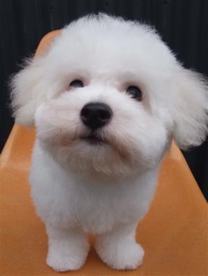 ビションフリーゼブリーダーこいぬのお迎え子犬東京フントヒュッテhundehutte文京区トリミングサロンビションカットアフロカット良血統ビション毛量の多いビション14.jpg