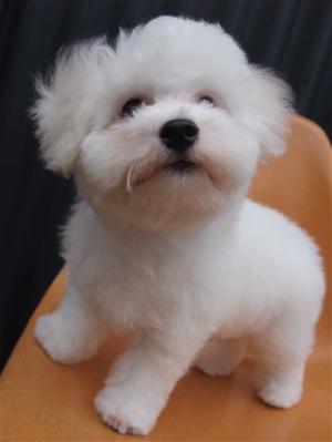 ビションフリーゼブリーダーこいぬのお迎え子犬東京フントヒュッテhundehutte文京区トリミングサロンビションカットアフロカット良血統ビション毛量の多いビション16.jpg