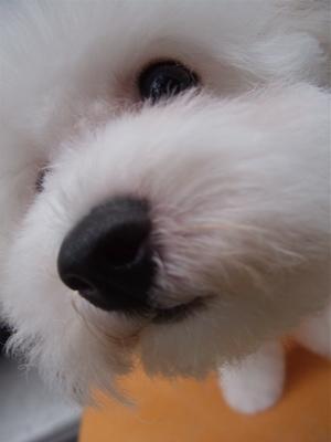 ビションフリーゼブリーダーこいぬのお迎え子犬東京フントヒュッテhundehutte文京区トリミングサロンビションカットアフロカット良血統ビション毛量の多いビション20.jpg