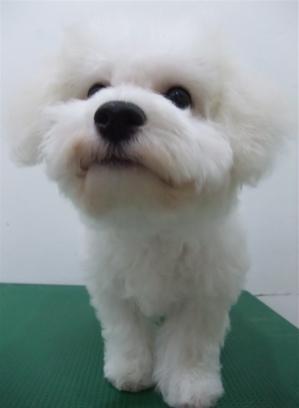 ビションフリーゼブリーダーこいぬ女の子子犬東京フントヒュッテhundehutte文京区トリミングサロンビションカットアフロカット良血統ビション毛量の多いビション10.jpg