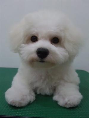 ビションフリーゼブリーダーこいぬ女の子子犬東京フントヒュッテhundehutte文京区トリミングサロンビションカットアフロカット良血統ビション毛量の多いビション11.jpg
