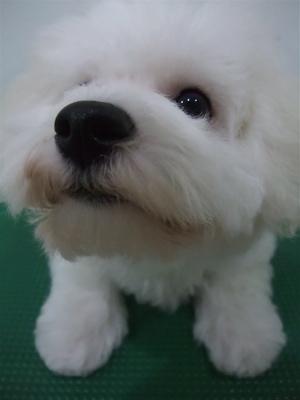 ビションフリーゼブリーダーこいぬ女の子子犬東京フントヒュッテhundehutte文京区トリミングサロンビションカットアフロカット良血統ビション毛量の多いビション12.jpg