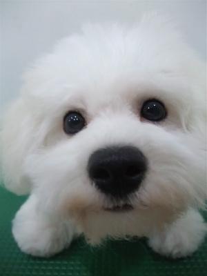 ビションフリーゼブリーダーこいぬ女の子子犬東京フントヒュッテhundehutte文京区トリミングサロンビションカットアフロカット良血統ビション毛量の多いビション15.jpg