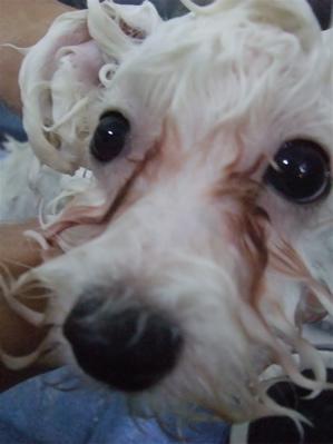 ビションカットアフロカットビショントリミングビションフリーゼブリーダー女の子子犬東京フントヒュッテ文京区トリミングサロン良血統毛量の多いビション3.jpg