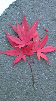 秋落ち葉紅葉もみじこうようフントヒュッテhundehutte東京ビションフリーゼブリーダーこいぬおんなのこ出産子犬女の子文京区トリミングサロンビションカット本駒込3.jpg