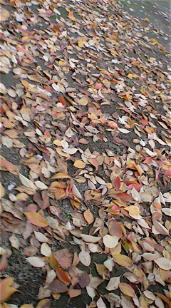 秋落ち葉紅葉もみじこうようフントヒュッテhundehutte東京ビションフリーゼブリーダーこいぬおんなのこ出産子犬女の子文京区トリミングサロンビションカット本駒込1.jpg