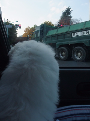 ビションフリーゼブリーダーこいぬ子犬東京フントヒュッテ文京区トリミングサロンビションカット安田美沙子はんな先輩明治神宮外苑いちょう祭り外苑いちょう並木1.jpg