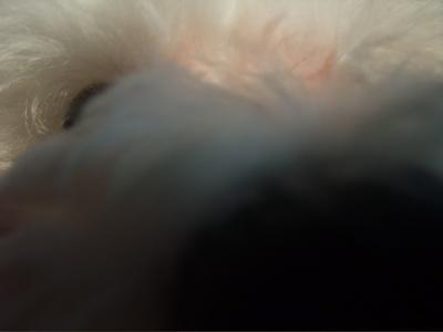 ビションフリーゼブリーダーこいぬ子犬東京フントヒュッテ文京区トリミングサロンビションカット安田美沙子はんな先輩明治神宮外苑いちょう祭り外苑いちょう並木5.jpg