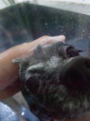 ポメラニアン柴犬カットトリミング文京区ビションカットアフロカットデンタルケアビションフリーゼブリーダー東京フントヒュッテ安田美沙子はんな先輩犬歯磨き1.jpg