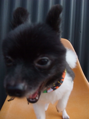 ポメラニアン柴犬カットトリミング文京区ビションカットアフロカットデンタルケアビションフリーゼブリーダー東京フントヒュッテ安田美沙子はんな先輩犬歯磨き15.jpg
