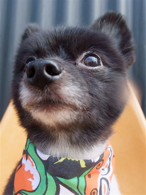 ポメラニアン柴犬カットトリミング文京区ビションカットアフロカットデンタルケアビションフリーゼブリーダー東京フントヒュッテ安田美沙子はんな先輩犬歯磨き18.jpg