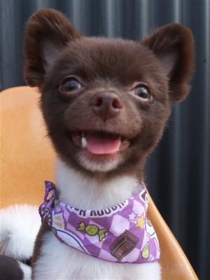 ポメラニアン柴犬カットトリミング文京区ビションカットアフロカットデンタルケアビションフリーゼブリーダー東京フントヒュッテ安田美沙子はんな先輩犬歯磨き20.jpg