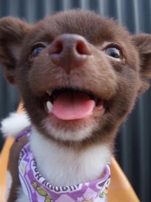 ポメラニアン柴犬カットトリミング文京区ビションカットアフロカットデンタルケアビションフリーゼブリーダー東京フントヒュッテ安田美沙子はんな先輩犬歯磨き21.jpg
