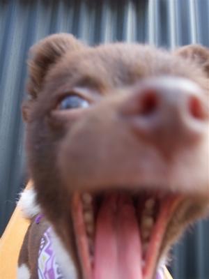 ポメラニアン柴犬カットトリミング文京区ビションカットアフロカットデンタルケアビションフリーゼブリーダー東京フントヒュッテ安田美沙子はんな先輩犬歯磨き22.jpg