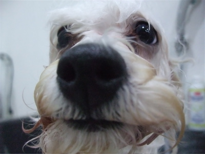 ビションフリーゼブリーダー子犬東京フントヒュッテhundehutte文京区トリミングサロンビションカットアフロカット良血統毛量の多いビション安田美沙子はんな先輩3.jpg
