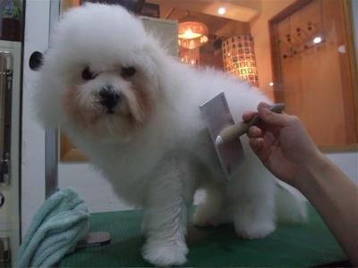 ビションフリーゼブリーダー子犬東京フントヒュッテhundehutte文京区トリミングサロンビションカットアフロカット良血統毛量の多いビション安田美沙子はんな先輩5.jpg
