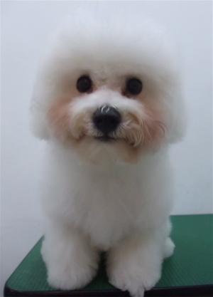 ビションフリーゼブリーダー子犬東京フントヒュッテhundehutte文京区トリミングサロンビションカットアフロカット良血統毛量の多いビション安田美沙子はんな先輩9.jpg