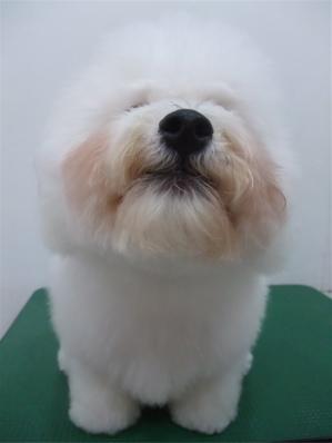 ビションフリーゼブリーダー子犬東京フントヒュッテhundehutte文京区トリミングサロンビションカットアフロカット良血統毛量の多いビション安田美沙子はんな先輩10.jpg