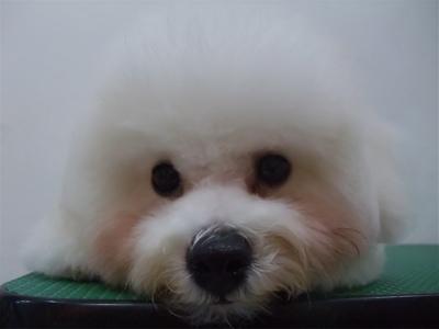 ビションフリーゼブリーダー子犬東京フントヒュッテhundehutte文京区トリミングサロンビションカットアフロカット良血統毛量の多いビション安田美沙子はんな先輩11.jpg