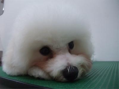 ビションフリーゼブリーダー子犬東京フントヒュッテhundehutte文京区トリミングサロンビションカットアフロカット良血統毛量の多いビション安田美沙子はんな先輩12.jpg