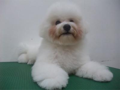ビションフリーゼブリーダー子犬東京フントヒュッテhundehutte文京区トリミングサロンビションカットアフロカット良血統毛量の多いビション安田美沙子はんな先輩13.jpg