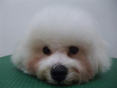 ビションフリーゼブリーダー子犬東京フントヒュッテhundehutte文京区トリミングサロンビションカットアフロカット良血統毛量の多いビション安田美沙子はんな先輩14.jpg