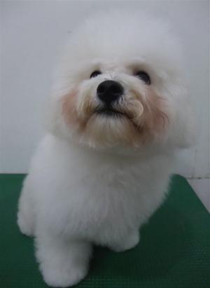 ビションフリーゼブリーダー子犬東京フントヒュッテhundehutte文京区トリミングサロンビションカットアフロカット良血統毛量の多いビション安田美沙子はんな先輩15.jpg