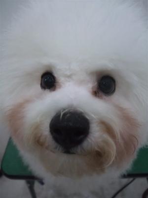 ビションフリーゼブリーダー子犬東京フントヒュッテhundehutte文京区トリミングサロンビションカットアフロカット良血統毛量の多いビション安田美沙子はんな先輩16.jpg