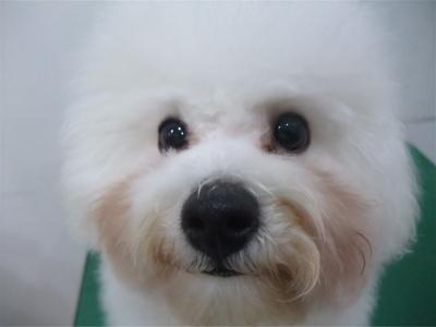 ビションフリーゼブリーダー子犬東京フントヒュッテhundehutte文京区トリミングサロンビションカットアフロカット良血統毛量の多いビション安田美沙子はんな先輩17.jpg