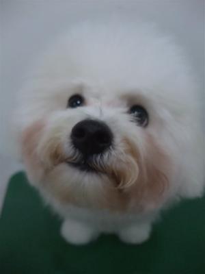 ビションフリーゼブリーダー子犬東京フントヒュッテhundehutte文京区トリミングサロンビションカットアフロカット良血統毛量の多いビション安田美沙子はんな先輩18.jpg