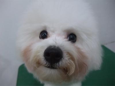 ビションフリーゼブリーダー子犬東京フントヒュッテhundehutte文京区トリミングサロンビションカットアフロカット良血統毛量の多いビション安田美沙子はんな先輩19.jpg