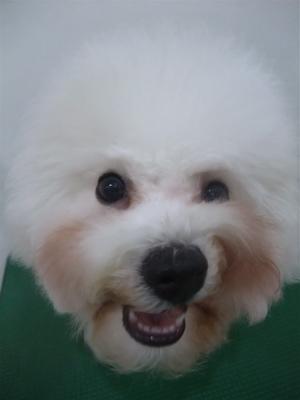 ビションフリーゼブリーダー子犬東京フントヒュッテhundehutte文京区トリミングサロンビションカットアフロカット良血統毛量の多いビション安田美沙子はんな先輩20.jpg