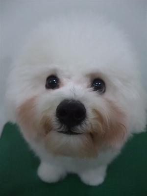 ビションフリーゼブリーダー子犬東京フントヒュッテhundehutte文京区トリミングサロンビションカットアフロカット良血統毛量の多いビション安田美沙子はんな先輩21.jpg