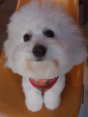 フントヒュッテビションフリーゼブリーダー子犬東京アフロカットトリミングサロン文京区ビションカット安田美沙子はんな先輩サンタクロースクリスマスバンダナ1.jpg