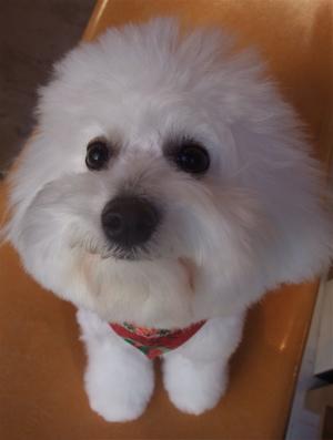 フントヒュッテビションフリーゼブリーダー子犬東京アフロカットトリミングサロン文京区ビションカット安田美沙子はんな先輩サンタクロースクリスマスバンダナ2.jpg