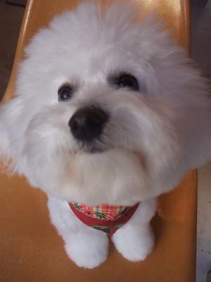 フントヒュッテビションフリーゼブリーダー子犬東京アフロカットトリミングサロン文京区ビションカット安田美沙子はんな先輩サンタクロースクリスマスバンダナ4.jpg