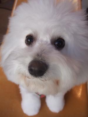 フントヒュッテビションフリーゼブリーダー子犬東京アフロカットトリミングサロン文京区ビションカット安田美沙子はんな先輩サンタクロースクリスマスバンダナ5.jpg