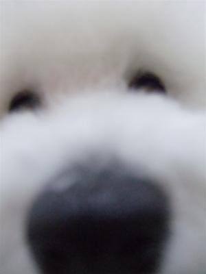フントヒュッテビションフリーゼブリーダー子犬東京犬歯磨きデンタルケアアフロカットトリミング文京区ビションカット安田美沙子はんな先輩クリスマスバンダナ9.jpg