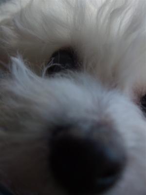 運命の日ビションフリーゼブリーダー東京フントヒュッテオリジナルカフェリードハーネス犬首輪文京区トリミングビションカット安田美沙子はんな先輩hundehutte2.jpg