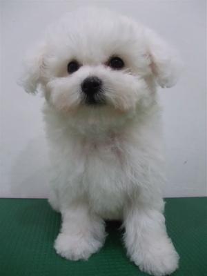 子犬こいぬのシャンプービションフリーゼブリーダー東京フントヒュッテオリジナルリード犬首輪文京区トリミングビションカット安田美沙子はんな先輩hundehutte6.jpg