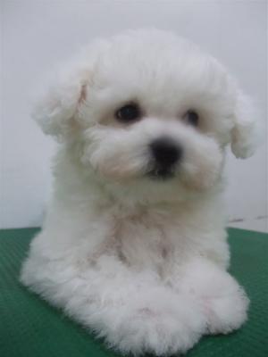 子犬こいぬのシャンプービションフリーゼブリーダー東京フントヒュッテオリジナルリード犬首輪文京区トリミングビションカット安田美沙子はんな先輩hundehutte9.jpg