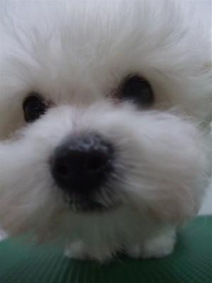 子犬こいぬのシャンプービションフリーゼブリーダー東京フントヒュッテオリジナルリード犬首輪文京区トリミングビションカット安田美沙子はんな先輩hundehutte10.jpg