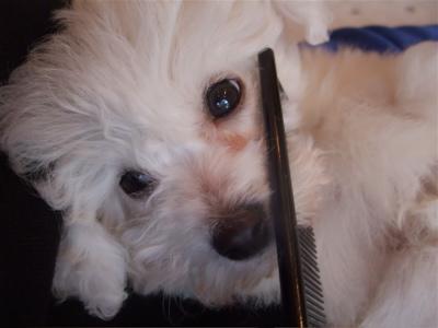 ローレンススリッカーブラシブラッシングビションフリーゼ日頃のお手入れコームコーミングトリミング文京区フントヒュッテオリジナルリード犬グッズ首輪5.jpg